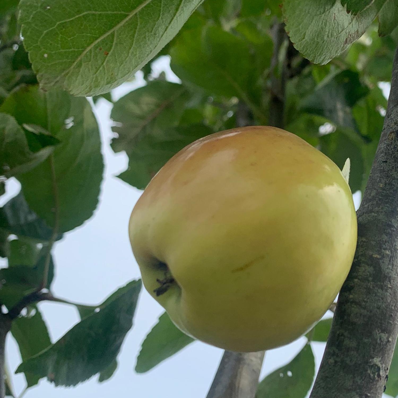 Jessen Apfel Allee