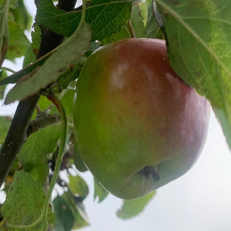 Schlewiger Erdbeerapfel Allee2
