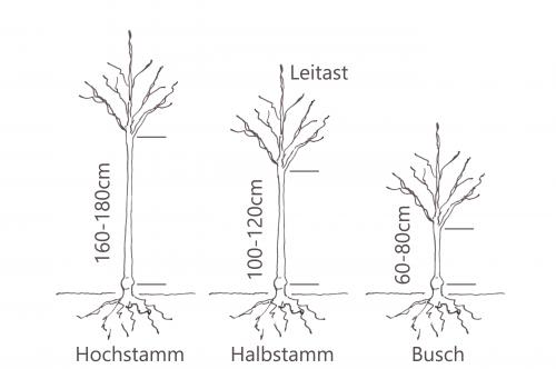 Baum_H-hb-B_gross